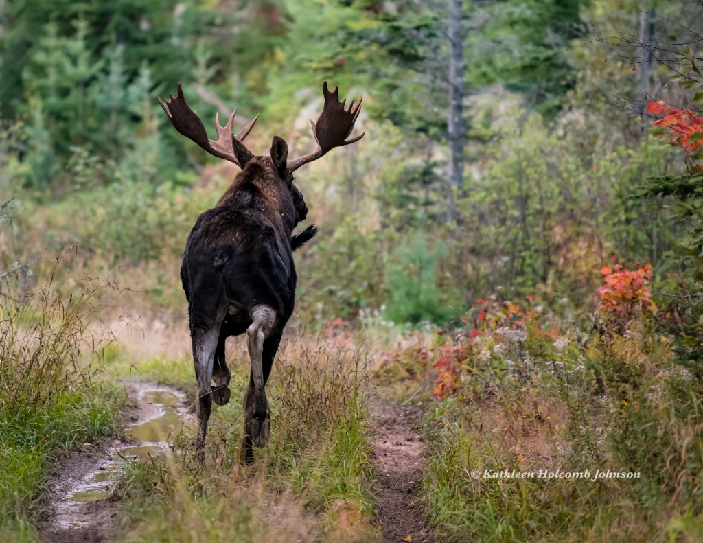 """Moose """"Looking For The Ladies"""" - ID: 15641719 © Kathleen Holcomb Johnson"""