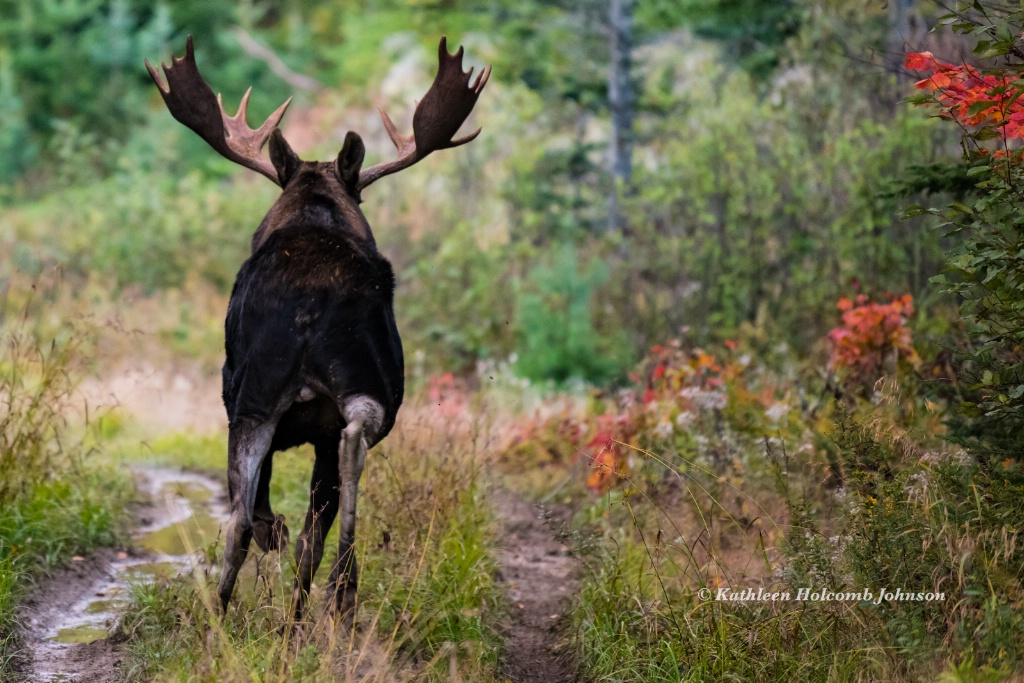 Moose On The Loose! - ID: 15641739 © Kathleen Holcomb Johnson