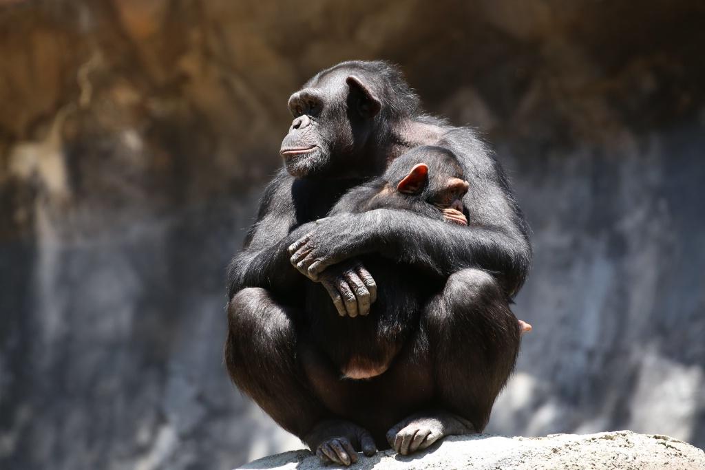 Momma Gorilla.JPG - ID: 15641881 © Paula Hildy