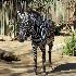 © Paula Hildy PhotoID# 15641903: Zebra Haven