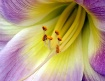 Inside A Lily