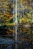 Cypress Swamp Reflections