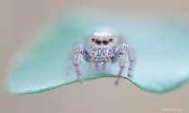 Little Jumping Spider on a Leaf 1