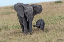 Elephant-mother and calf .