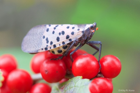 The Dreaded Spotted Lantern Fly