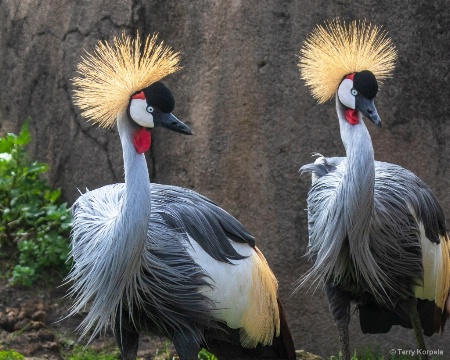 East African Crown Cranes