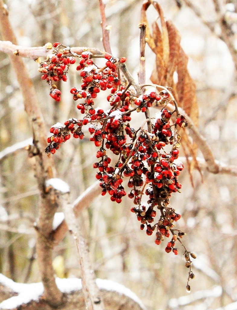 Red Sumac and Snow