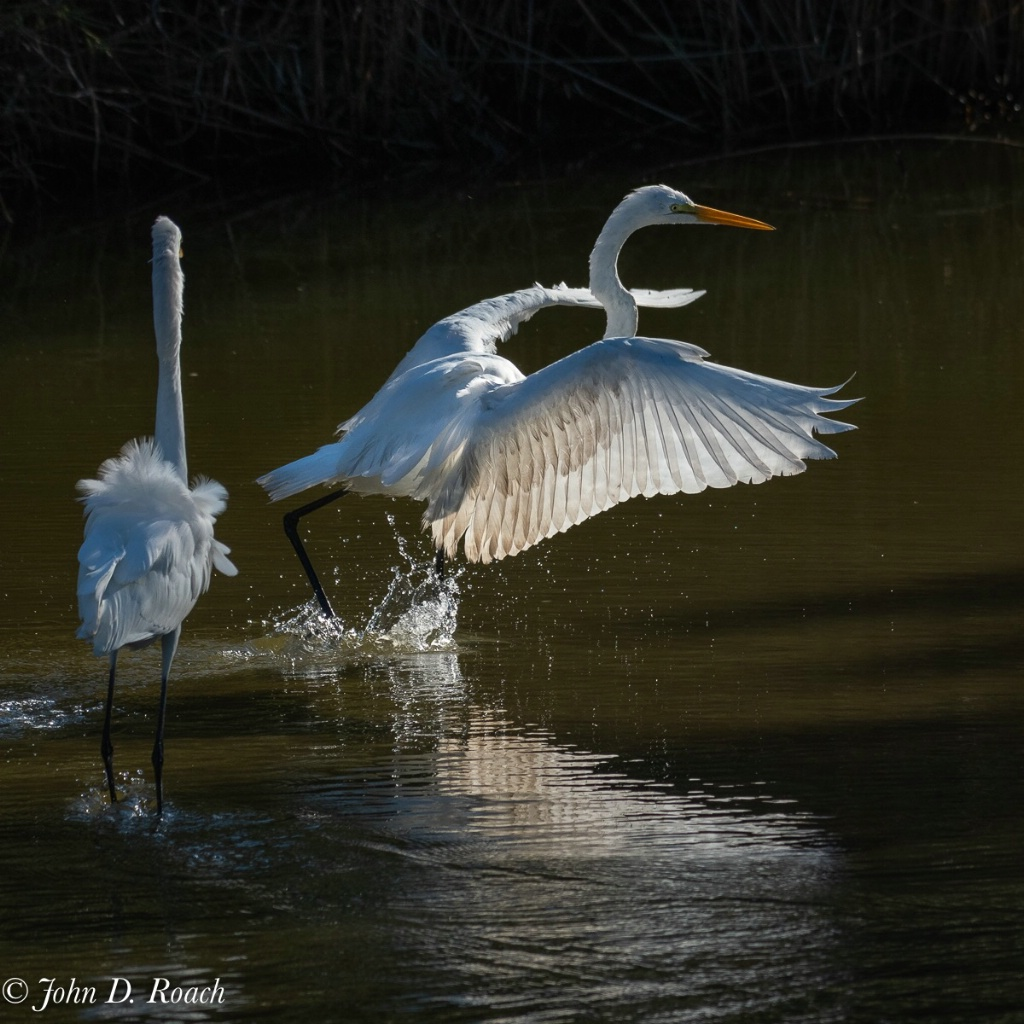 Two Egrets in Action - ID: 15650513 © John D. Roach