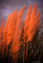 Sunset shining on Pampas Grass