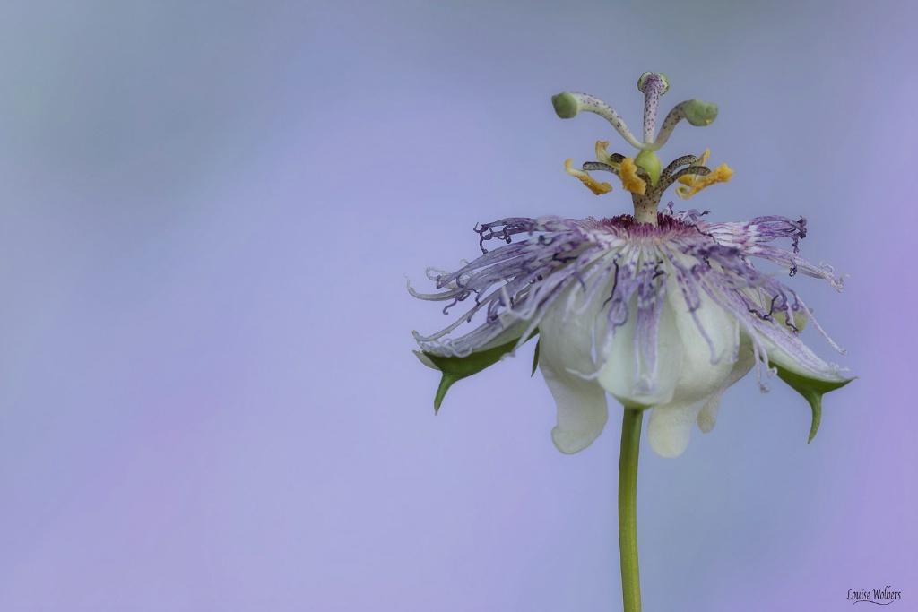 Purple - ID: 15652038 © Louise Wolbers