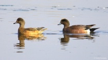 American Wigeon (Female left, Male Right)