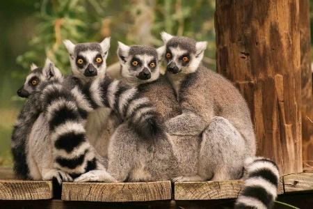 Lemur Convention