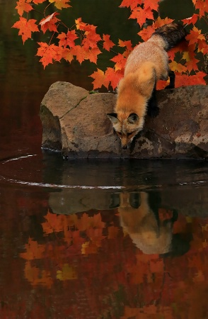 Red Fox Fall Reflections
