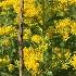 © Krista Cheney PhotoID# 15655312: Grass and goldenrod
