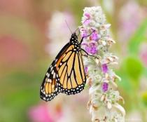 Monarch butterfly on lamb's ear