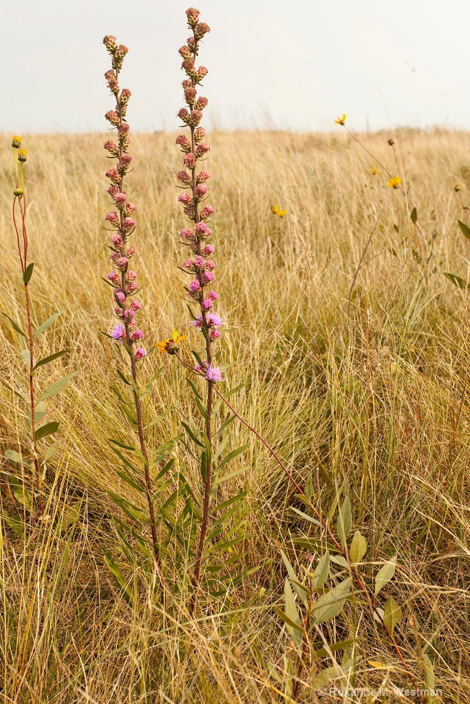 Minnesota wildflower Rough Blazing Star - ID: 15655579 © Roxanne M. Westman