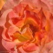 Fiery Rose Ruffle...