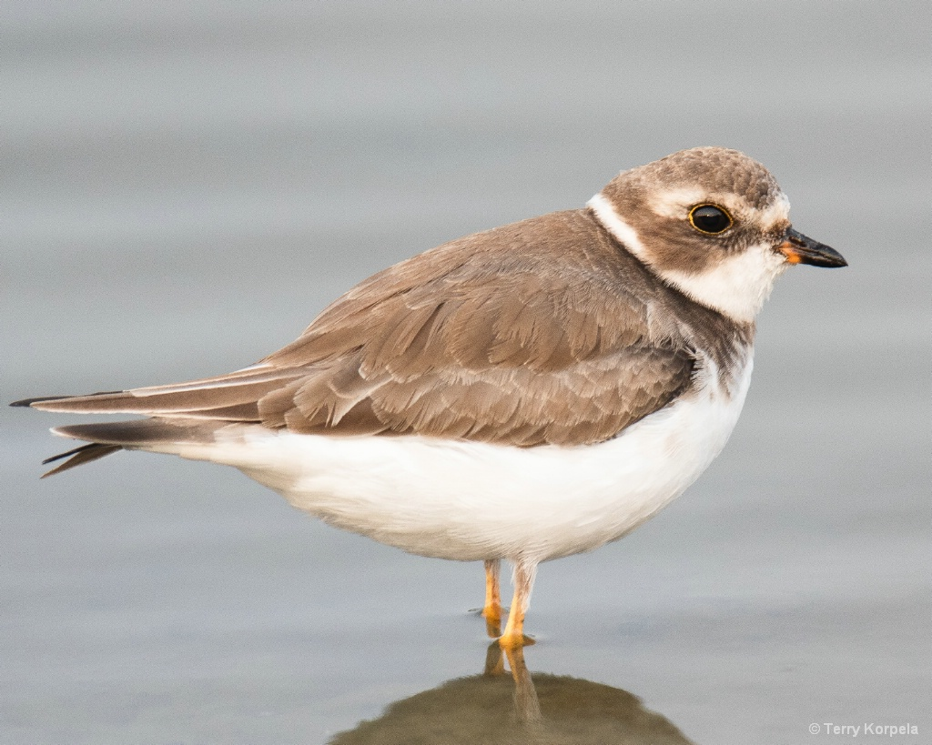 Semipalmated Plover - ID: 15656334 © Terry Korpela