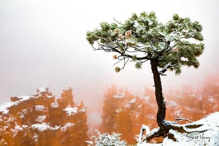Snow, Fog, and Tree; Bryce National Park, UT