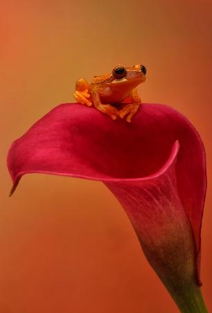 Hourglass Frog on Cala