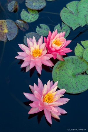 Water Lily Trio