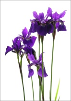 Siberian irises with white background
