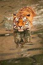 Tiger Swimming 3-0 F LR 9-16-18 J177