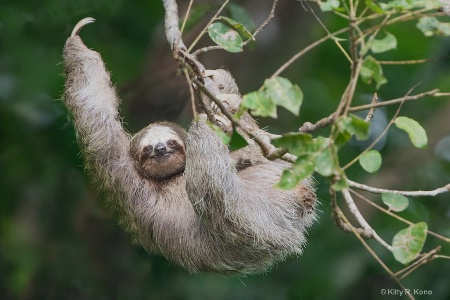Three Toed Sloth Waving Hello