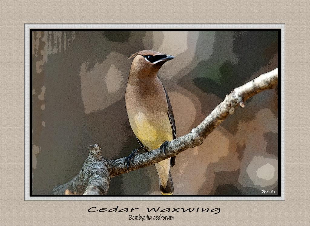Cedar Waxwing - ID: 15661303 © Rhonda Maurer