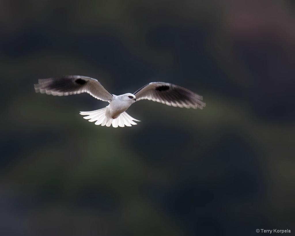White-tailed Kite - ID: 15662310 © Terry Korpela