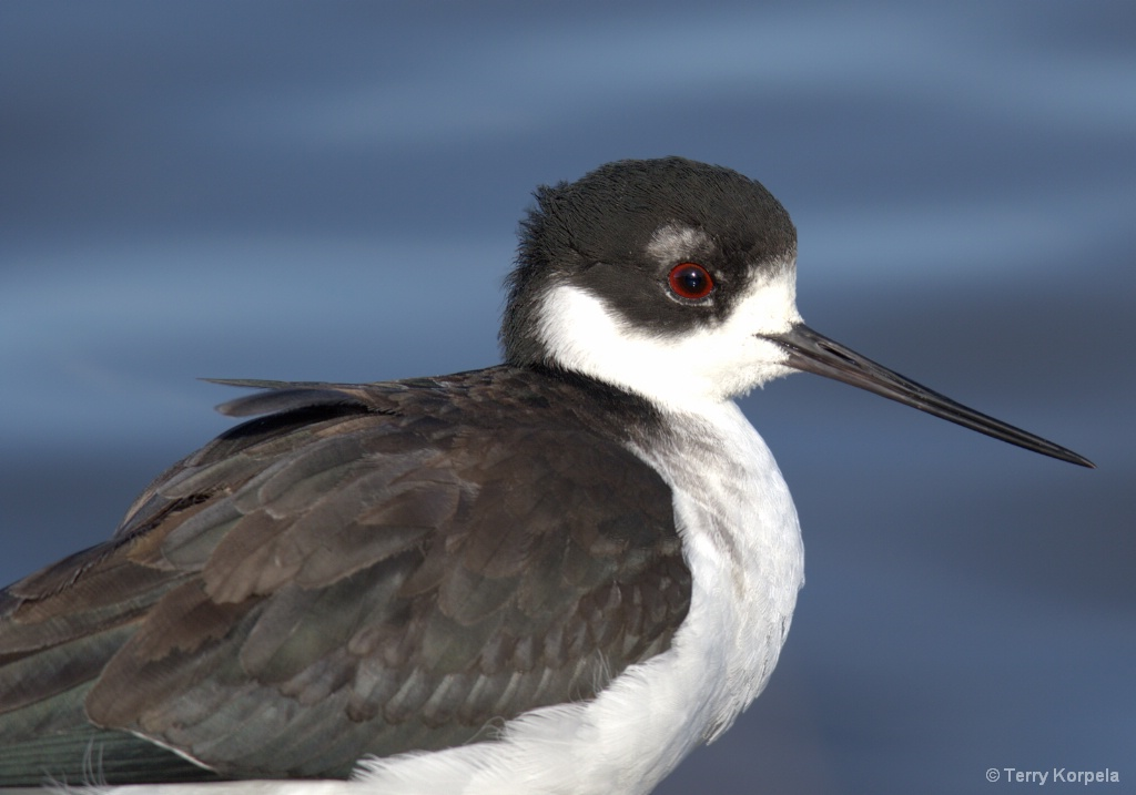 Black-necked Stilt (portrait) - ID: 15662671 © Terry Korpela