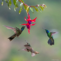 The Dance of the Hummingbirds