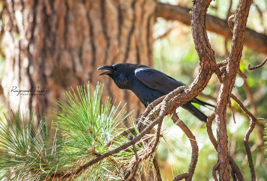 Black Crow Croaking