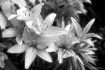 Lily aglow