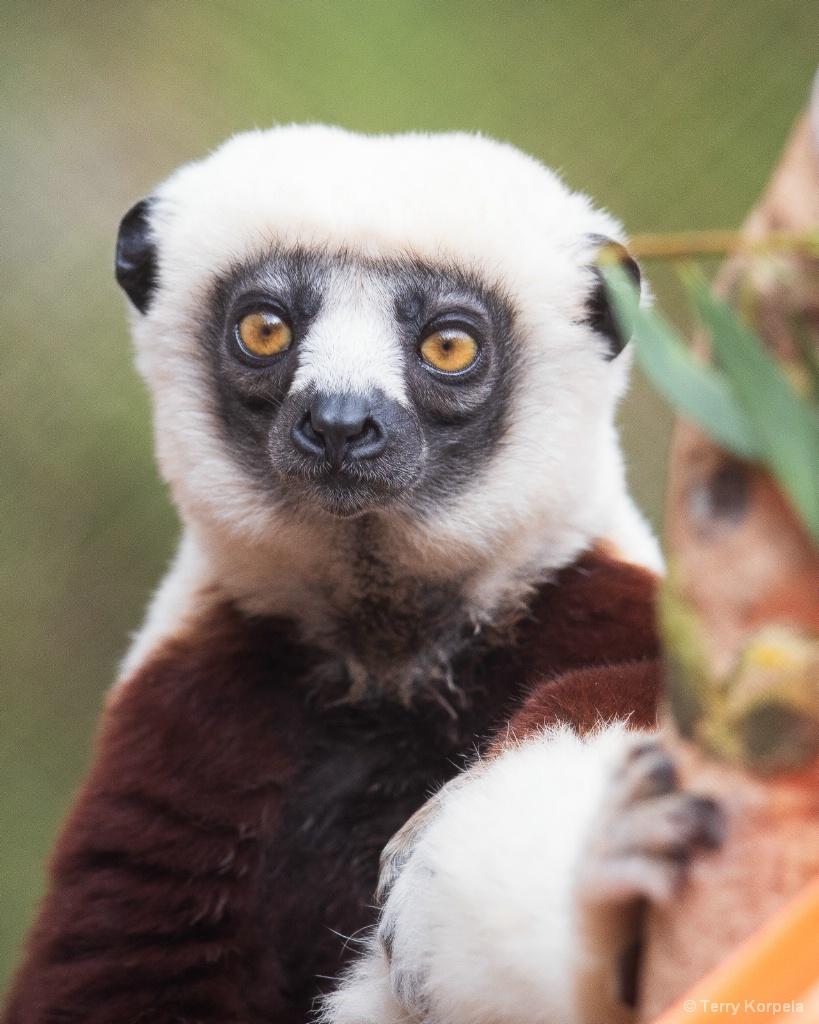 Coquerel's Sifaka (Medium Sized Lemur) - ID: 15666139 © Terry Korpela