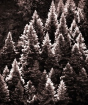 Glowing Fir trees at the morning side-lighting.
