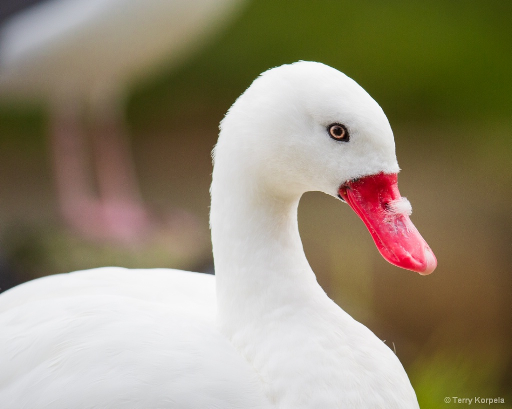 Coscoroba Swan - ID: 15667524 © Terry Korpela