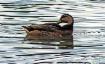 Duck Serenity
