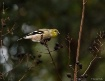 Goldfinch on Crep...