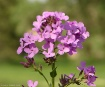 Lavender Pink Wil...