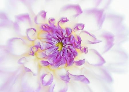 Purple & White Dahlia