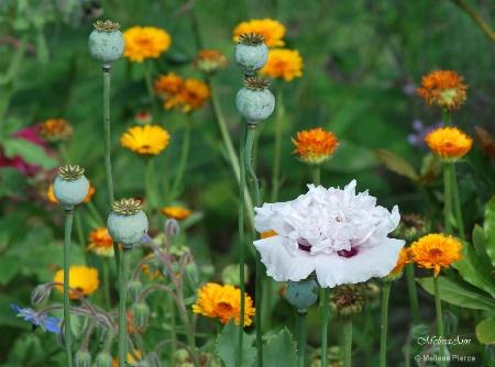 Massachusetts Flora