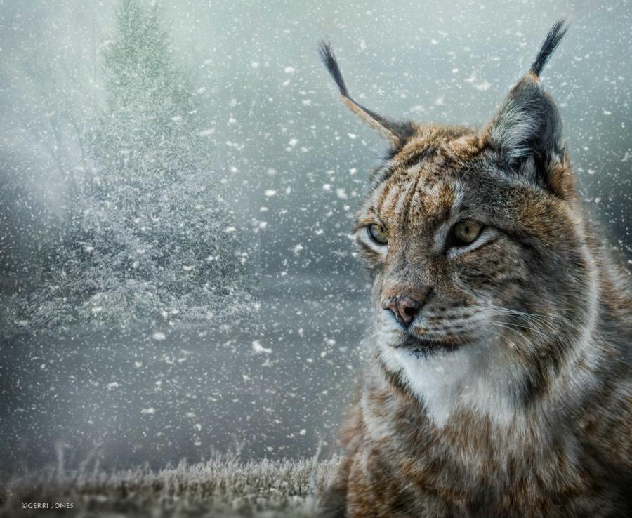 Winter Lynx Portrait