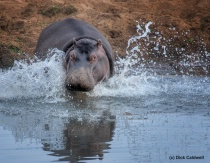 Hippo in S. Africa.  Image by Dick Caldwell