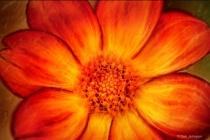 Artistic Orange Dahlia 6-0 F LR 9-30-18 J077