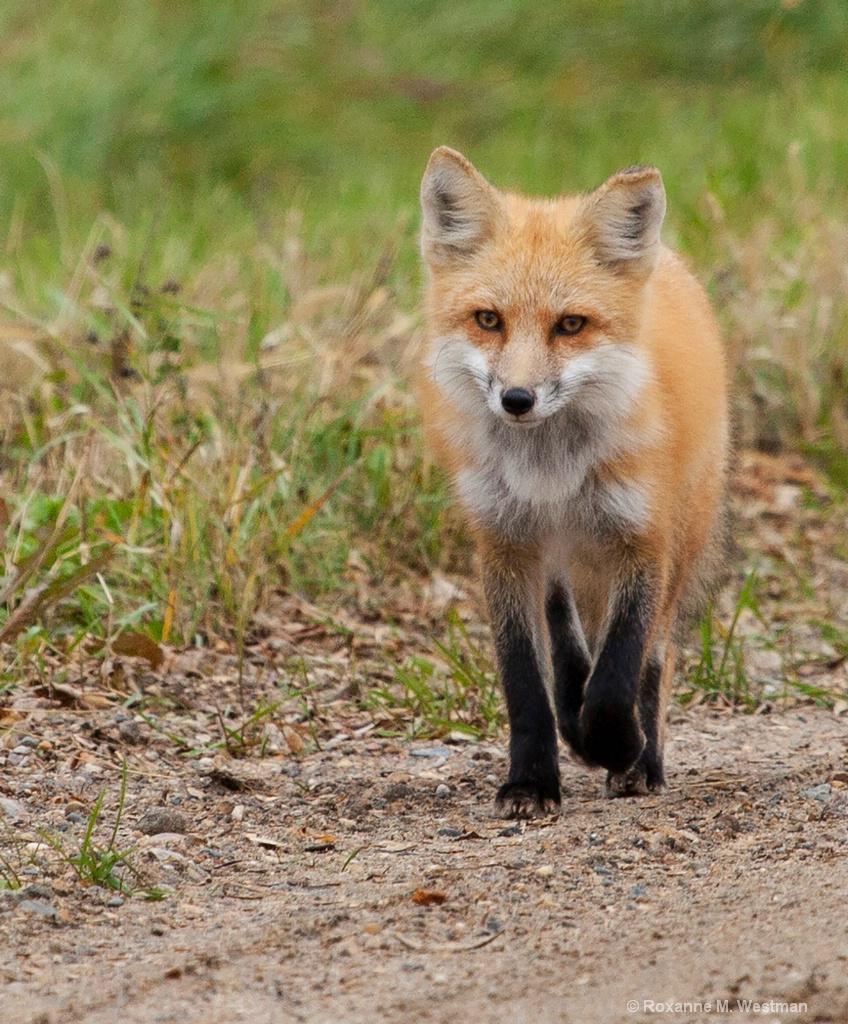 Fox stroll - ID: 15670576 © Roxanne M. Westman