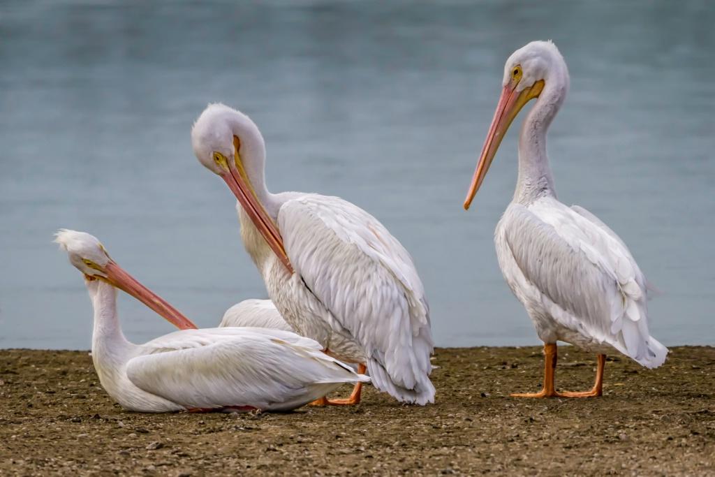 White Pelican Trio  2185