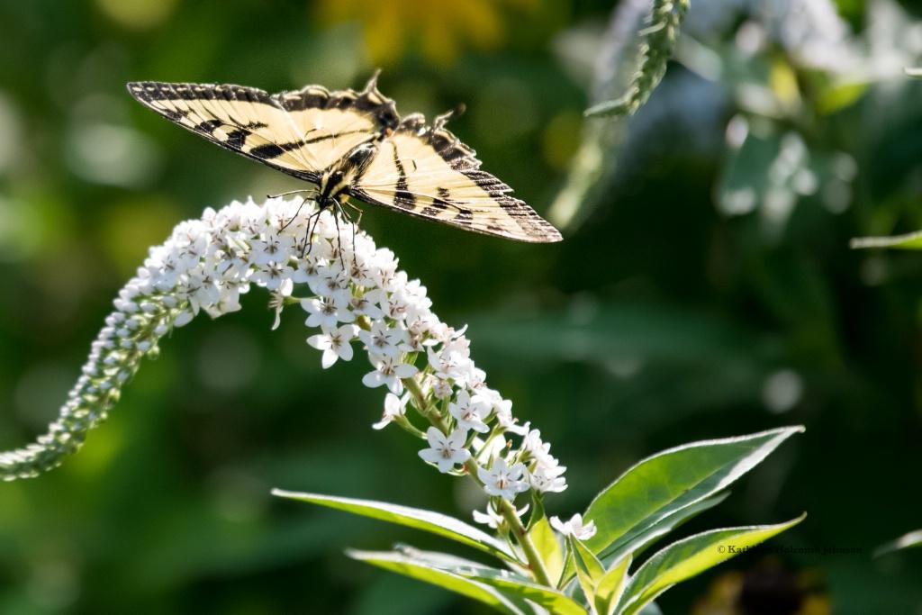 Butterfly Meets Flower! - ID: 15672116 © Kathleen Holcomb Johnson