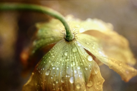 Poppy After the Rain