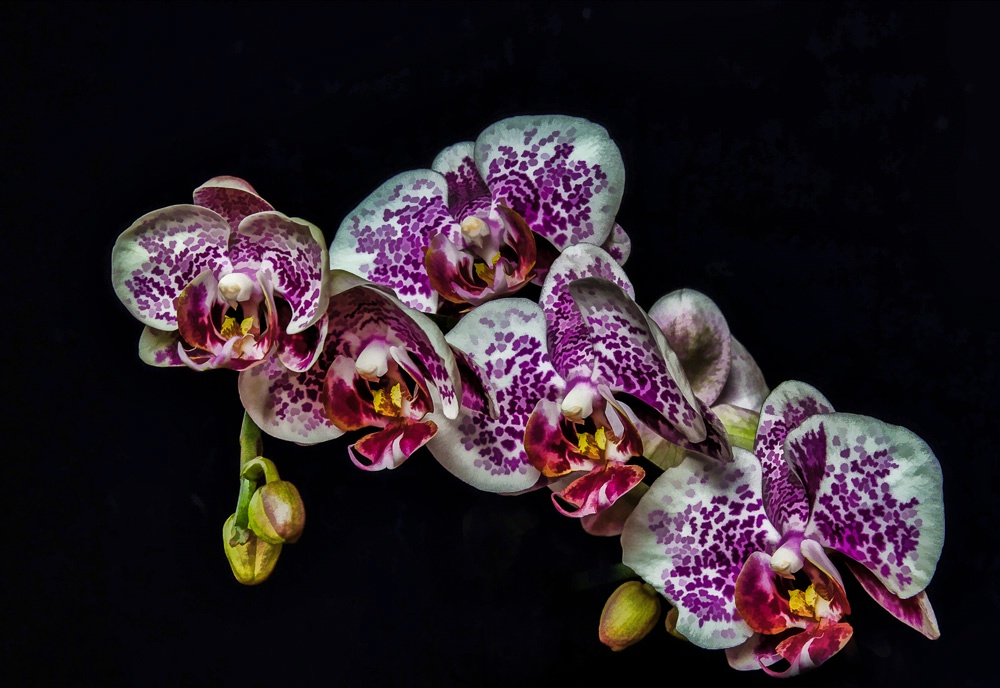 Beautful Orchid